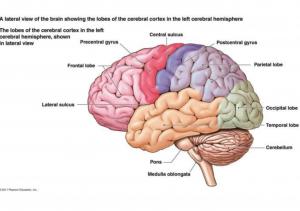 diagram of the brain | Montrose, CO 81401